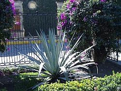 Blue Agave plant