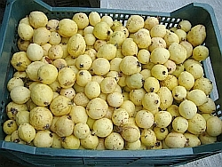 Guavas-also known as Guayabas in Spanish