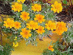 Marigolds or Cempasuchitl
